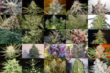 TOP 25 BEST INDICA STRAINS 2018