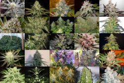 TOP 25 BEST INDICA STRAINS 2019
