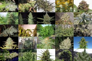 TOP 25 BEST SATIVA STRAINS 2018
