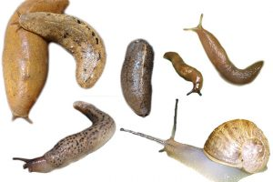 Most Effective Slug Baits To Kill Garden Slugs & Snails (Organic)
