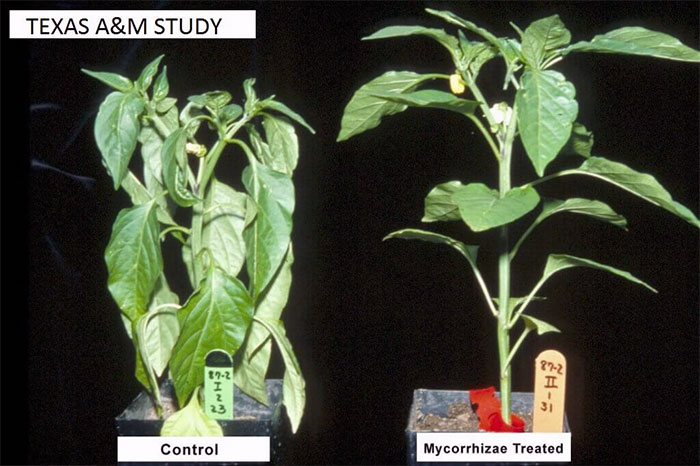 study-control-vs-mycorrhizal-fungi-treated-plants-benefits-good