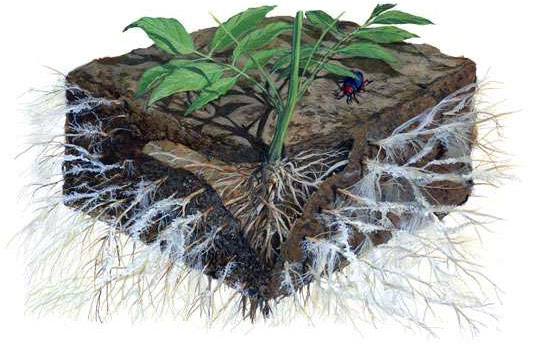 visualization of mycorrhizal fungi and soil microbiology