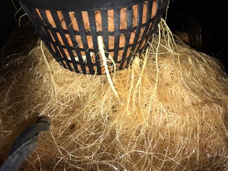 lots of roots on marijuana grown in hydroponics rdwc