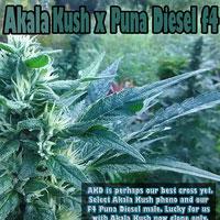 Akala Kush x Puna Diesel