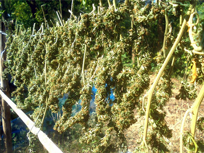 drying weed in the sun