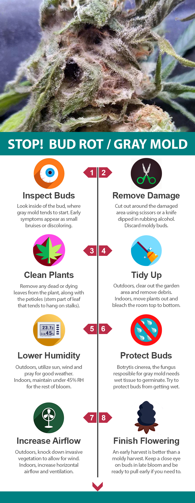 Stop Gray Mold Botrytis Bud Rot: Cannabis Infographic