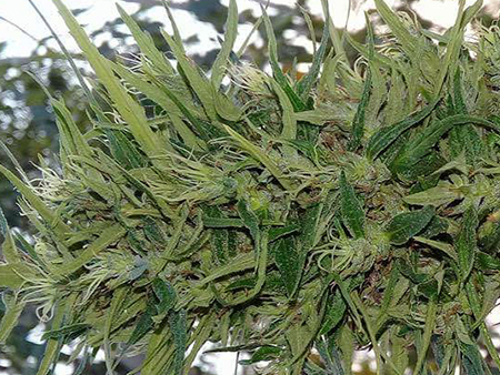 thai landrace sativa mold resistant strains
