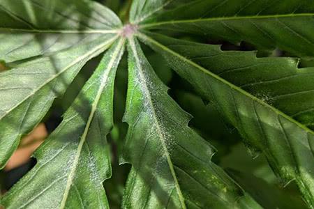 the start of powdery mildew on cannabis