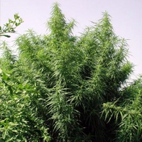 Tropical Mix regular cannabis seeds