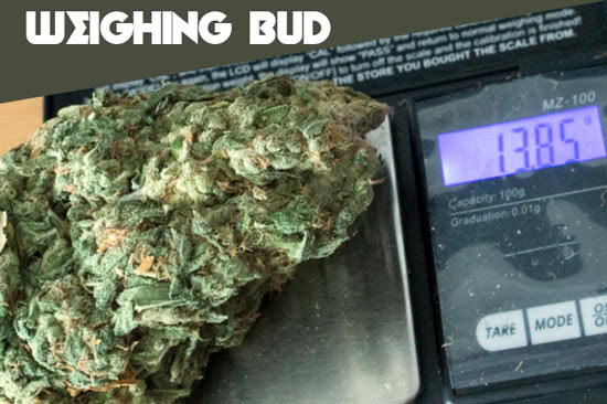 Weighing weed: cannabis buds on scale
