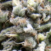 Mold Mildew Resistant Strains, Cannabis Seed, Marijuana Seeds