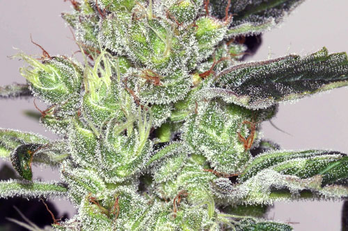 Alaskan Purple Feminized Seeds 2019 New Strains