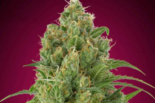 Strawberry Gum Auto Seeds New Strains 2019