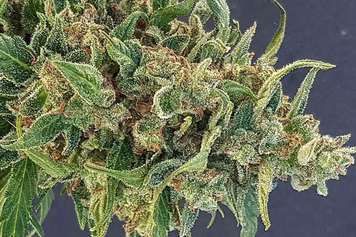 Triple XL Auto Seeds New High-Yield Strain