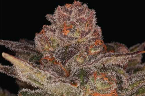 Glueberry Auto Seeds New Strains of Weed