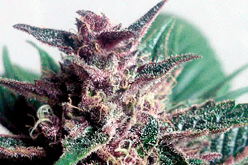 Grizzly Purple Auto Seeds New Autoflowering Strain