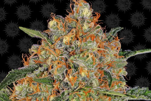 Orange Sherbert Feminized Seeds 2019 New Strains