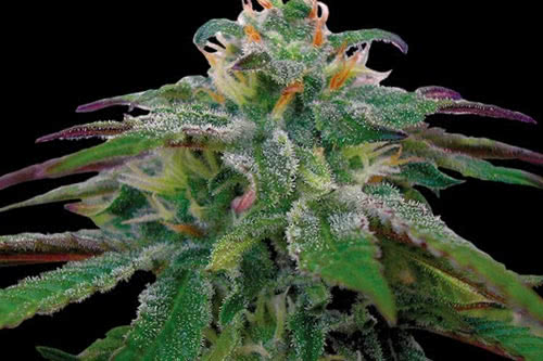 X18 Pure Pakistani Regular Seeds New Indica Strain