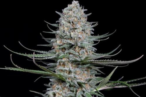 Quick Critical+ strain by Dinafem cannabis seeds