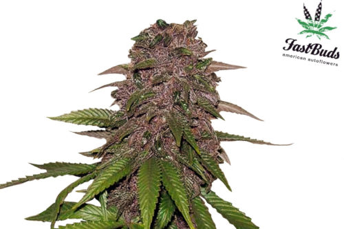 C4-Matic Auto Purple Cannabis Plant by Fastbuds