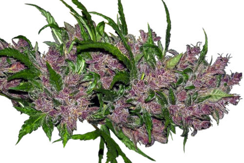 Auto Purple Bud cannabis strain by White Label Seeds