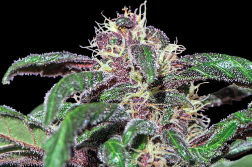An Ayahuasca Purple strain growing with purple color buds