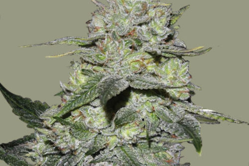 gorilla bomb grows easy by bomb seeds