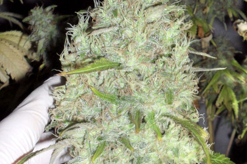 incredible bulk high yield easy to grow indoor strain