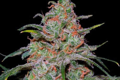 lemon skunk dna grow marijuana plant