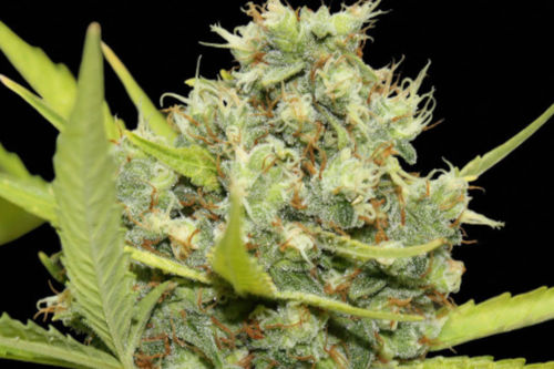 pineapple chunk grow by barneys farm seeds easy