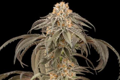 Purple Afghan Kush marijuana strain by Dinafem Seeds