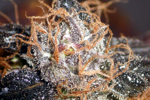 Closeup of Purple Bud cannabis strain by Seedsman