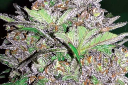 Violet Kush Auto marijuana strain by Garden of Green