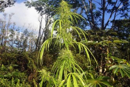 highland thai strain landrace seeds grow