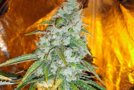 Sour Diesel: energetic strong sativa strain