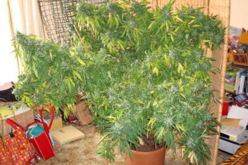 sinai egyptian landrace cannabis strain