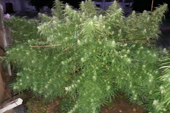 Malawi: best landrace cannabis sativa strain from seed