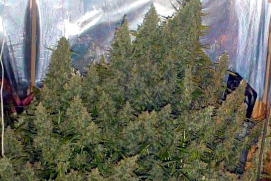 super silver haze yield high marijuana seeds