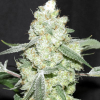 Strain of the Week - Mold Resistant Strains