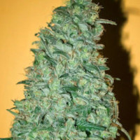 Strain of the Week 03`Dec 2019 - Mold Resistant Strains