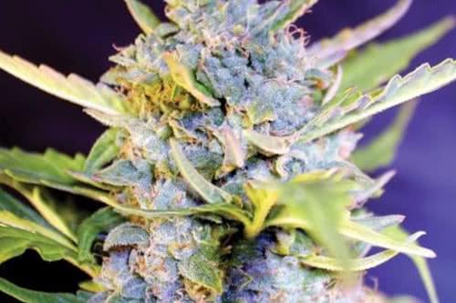 Fro-Yo Auto Fem Marijuana Seeds New Strain