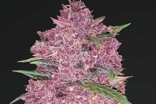 Purple Lemonade Autoflowering Marijuana Seeds Fast Buds