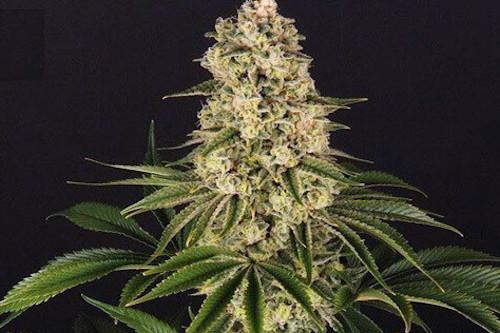 Tropicanna Banana Seeds New Cannabis Strains 2020