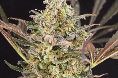 Wedding Flowers fem new marijuana strain seeds