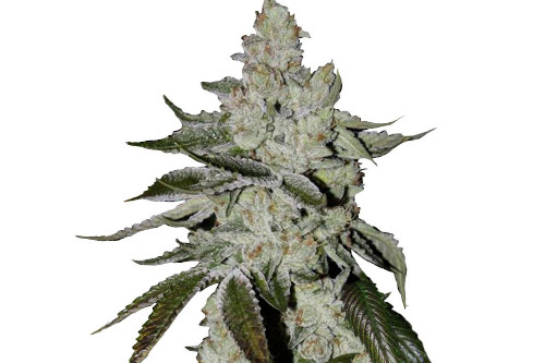 Girl Scout Cookies Autoflowering Marijuana Seeds