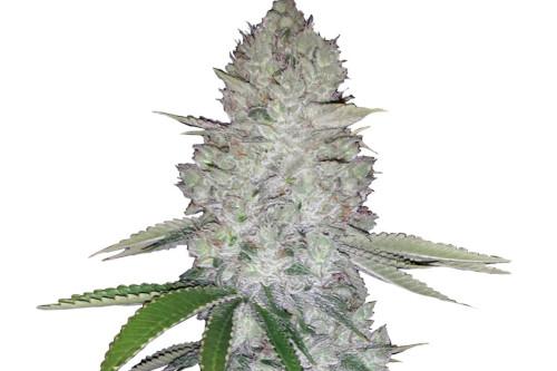 Gorilla Glue Autoflowering Cannabis Seeds