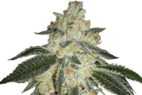 Green Crack Autoflowering Weed Seeds