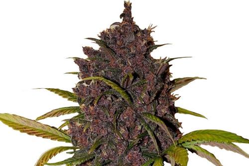 LSD Strain Autoflowering Seeds