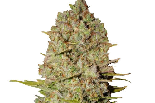 Pineapple Express Weed Strain Autoflowering Seeds