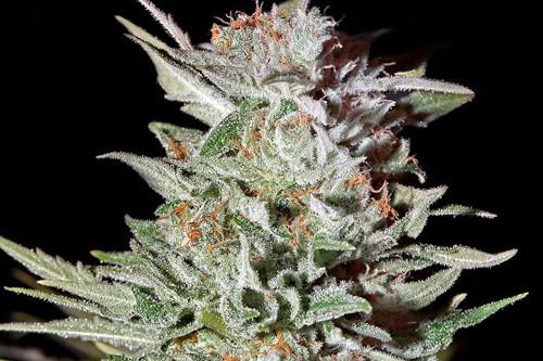 Super Lemon Haze Autoflowering Cannabis Seeds